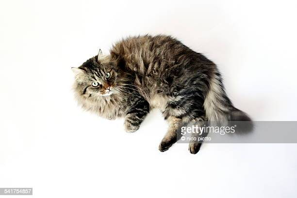 norwegian forest cat on white blackground - norwegian forest cat stock photos and pictures