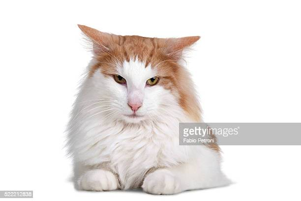 norwegian forest cat - norwegian forest cat stock photos and pictures
