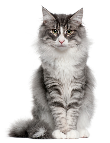 Norwegian Forest Cat (5 months old) 962862572