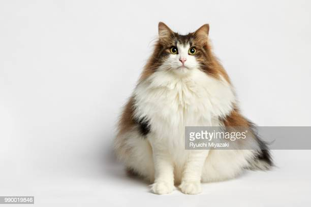 norwegian forest cat stock photos and pictures getty images
