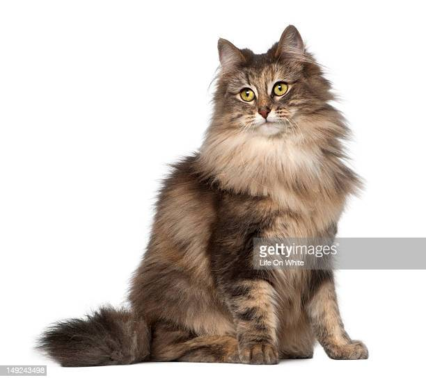 norwegian forest cat (1,5 year old) sitting - norwegian forest cat stock photos and pictures