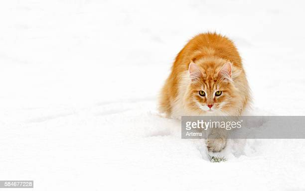 Norwegian Forest Cat stalking prey in the snow in winter the Netherlands