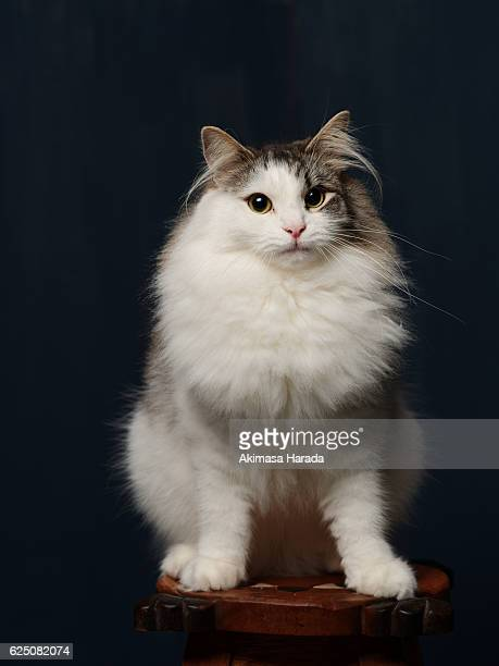 norwegian forest cat standing on the wooden table - norwegian forest cat stock photos and pictures