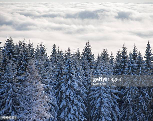 Norwegian spruce covered in snow