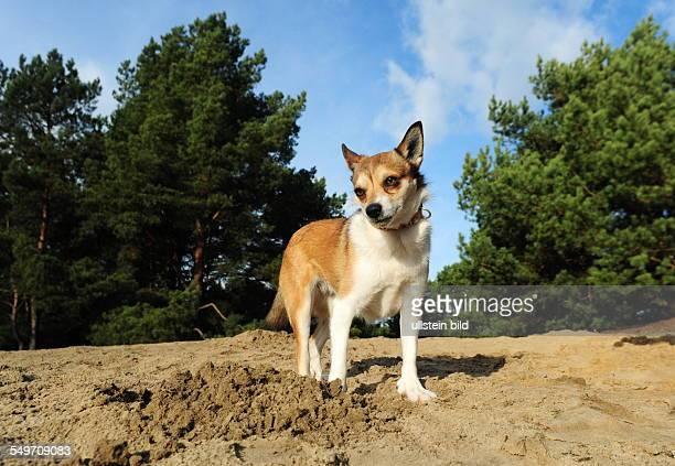 norwegischen lundehund preis beim zuechter 1200 Û weltweit gibt es noch ca 2000 lundehunde die lebenserwartung liegt bei 13 14 jahren ca 38 cm hoch u...