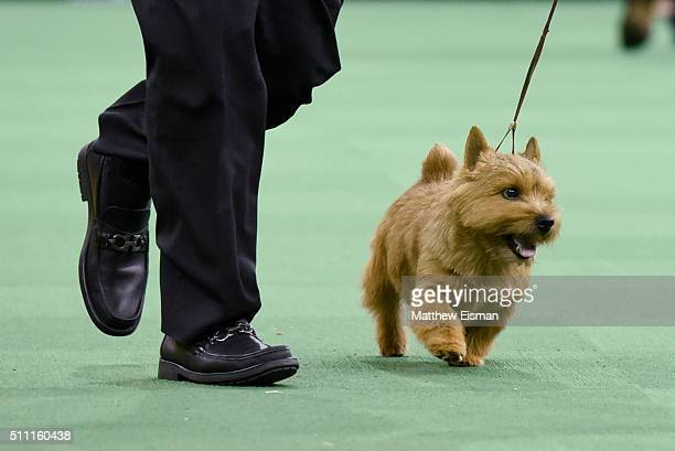 Norwich Terrier Photos and Premium High Res Pictures ...