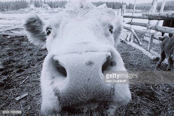 nose of cow - sirulnikoff stock photos and pictures