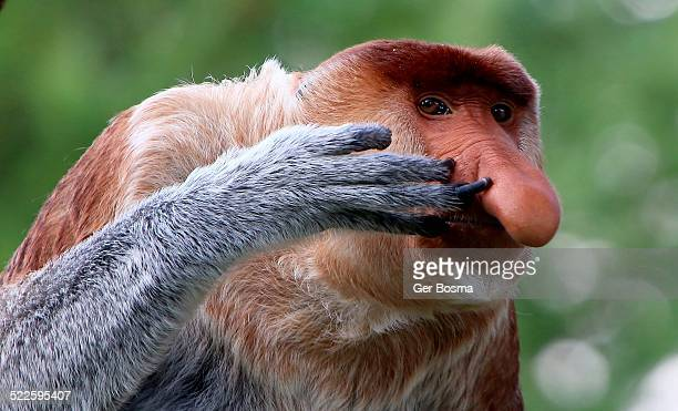 nose-picking proboscis monkey - big nose stock photos and pictures
