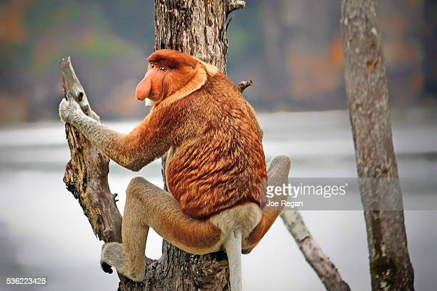 nosey - bako national park stock pictures, royalty-free photos & images
