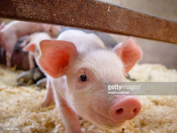 nosey pig - pig stock pictures, royalty-free photos & images