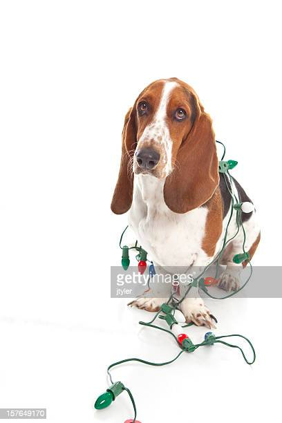 Not Happy Basset Hound