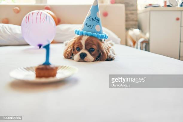 não tão entusiasmado com este aniversário :) - spaniel - fotografias e filmes do acervo