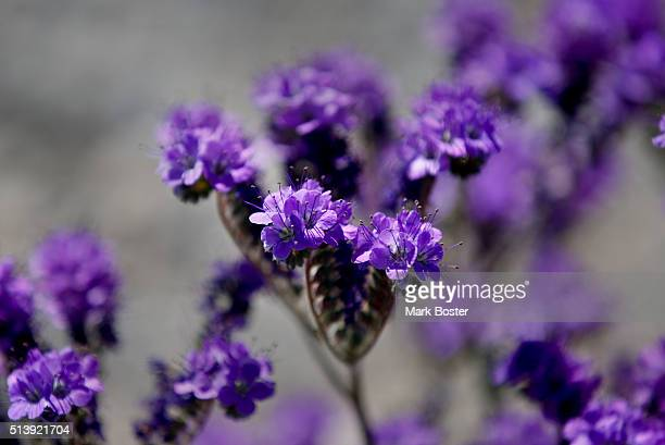Notchleaf Phacelia color the landscape in patches of purple during a rare 'super bloom' of wildflowers in Death Valley National Park March 4 2016 The...