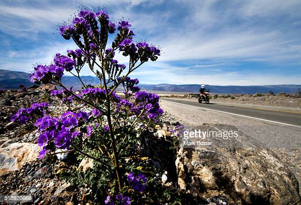 Notchleaf Phacelia growing between the crevices of rocks along Highway 190 dazzle motorists during a rare 'super bloom' of wildflowers in Death...