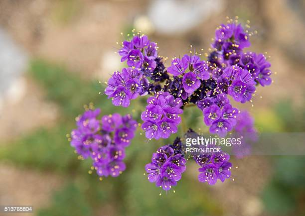 NotchLeaf Phacelia wildflowers are seen in Death Valley National Park in Death Valley California March 3 2016 Unusally heavy rainfall in October...
