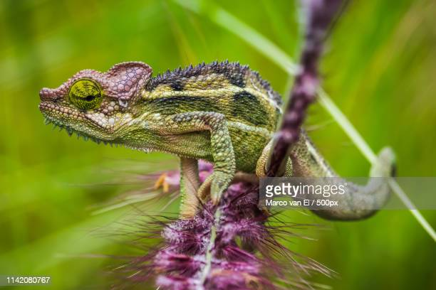 nothing to see - east african chameleon stock pictures, royalty-free photos & images