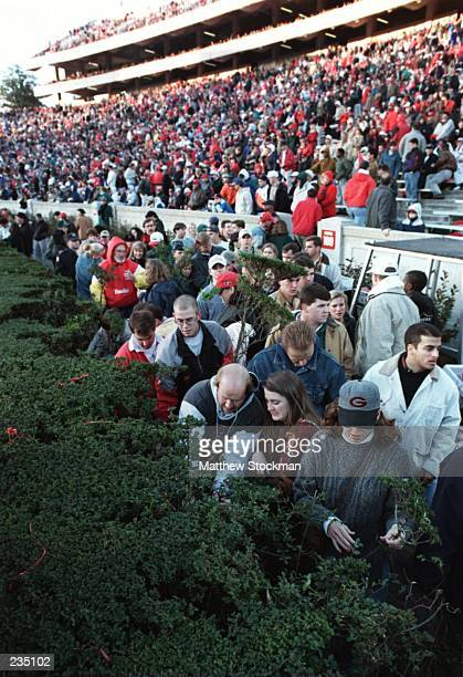 University of Georgia fans collect pieces of the hedge that surrounds Sanford Stadium during the Bulldogs 3731 loss to Auburn University in Athens...