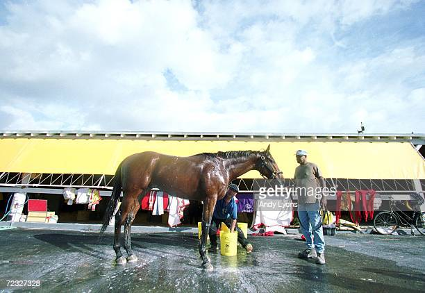 Lemon Drop Kidd gets bathed after the early morning training before the Breeders Cup at the Gulfstream Park in Hallandale Beach Florida