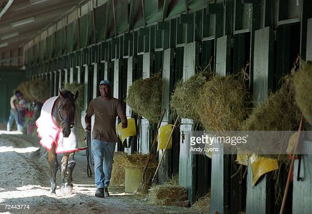Lemon Drop Kidd walks back to the stable after the early morning training before the Breeders Cup at the Gulfstream Park in Hallandale Beach Florida