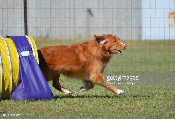 nova scotia duck tolling retriever at a dog agility trial - nova scotia duck tolling retriever stock pictures, royalty-free photos & images