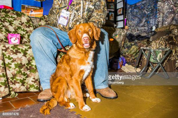 A Nova Scotia Duck Tolling Retriever dog stands for a photograph during the annual Meet the Breed event ahead of the 141st Westminster Kennel Club...