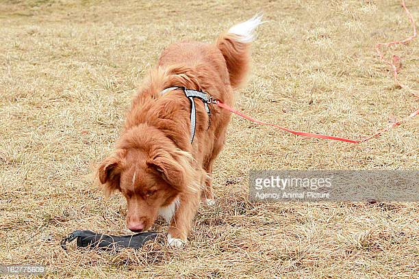Nova Scotia Duck Tolling Retriever is catching a dog toy in the English Garden on March 08, 2012 in Munich, Germany.