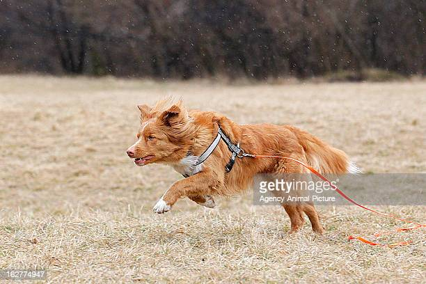 Nova Scotia Duck Tolling Retriever is running after a dog toy in the English Garden on March 08, 2012 in Munich, Germany.