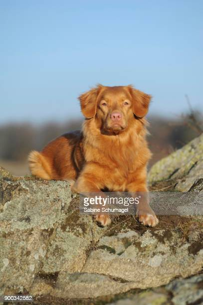 nova scotia duck tolling retriever, young male dog - nova scotia duck tolling retriever stock pictures, royalty-free photos & images