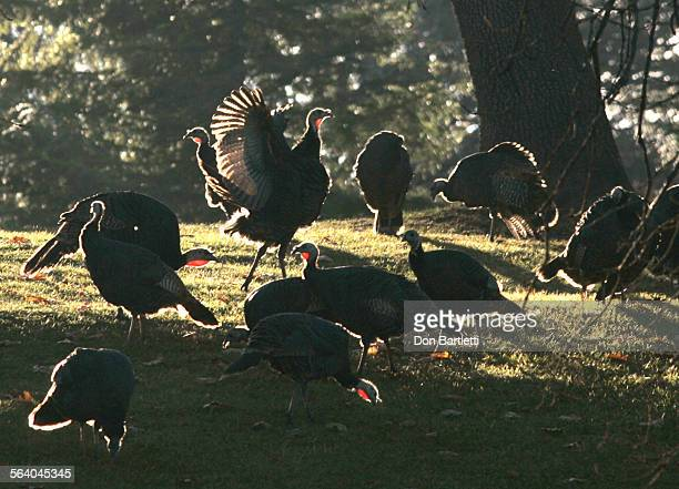 November 14 2006 Julian CA Everyday is Turkey Day in Julian where 1000's of American wild turkeys roam free all year This flock is just off Farmer Rd...