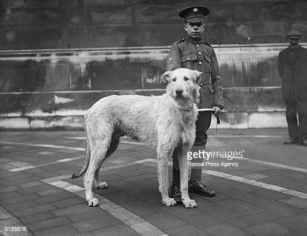 'Doreen' the Irish Guards Irish wolf hound mascot at a memorial service in charge of a young soldier