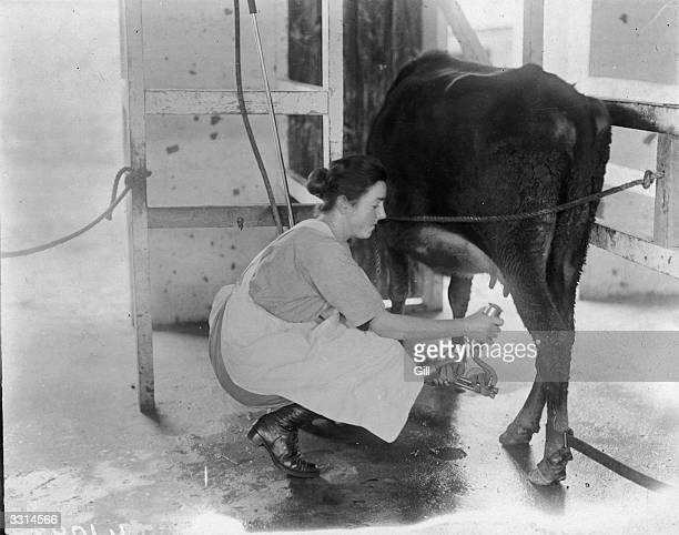 A milk maid placing teat cups on a cow