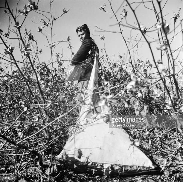 Trailing her sack behind her a farm labourer picks cotton bolls on a plantation by the Mississippi