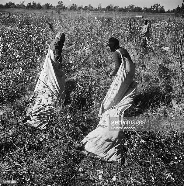 Trailing their sacks behind them farm labourers pick cotton bolls on a plantation by the Mississippi