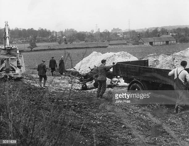 Farmers burying cattle carcasses in a huge pit during an outbreak of foot and mouth disease in East Anglia