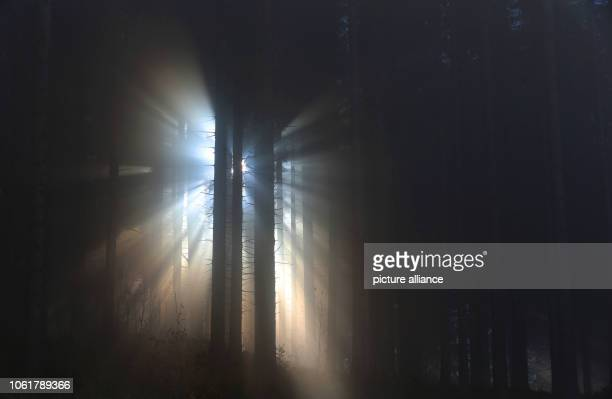 Sunrays penetrate through a coniferous forest lying in the fog Photo KarlJosef Hildenbrand/dpa