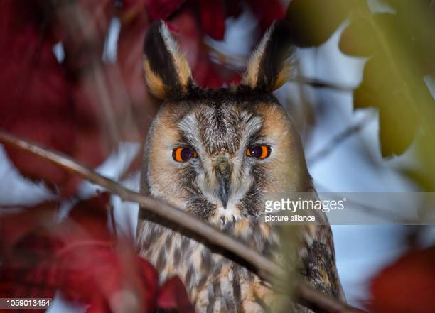 November 2018, Brandenburg, Hackenow: A long-eared owl looks down from a tree. The Oderbruch is very popular with the long-eared owls. Many animals...