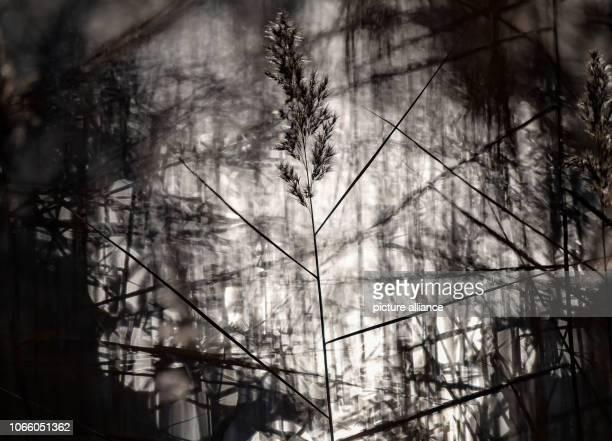 28 November 2018 Brandenburg Joachimsthal Reed stalks stand against the light in the water of the advertising lens in the biosphere reserve...