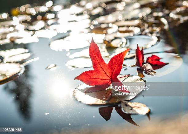 Leaves of an adjacent amber tree have fallen on water lily leaves in a pond in the palm garden Photo Frank Rumpenhorst/dpa