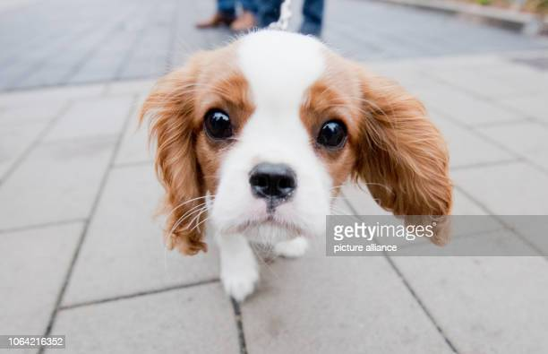 Jamie 15 weeks old a dog of the breed Cavalier King Charles Spaniel looks interested into the camera of the photographer Photo Julian...