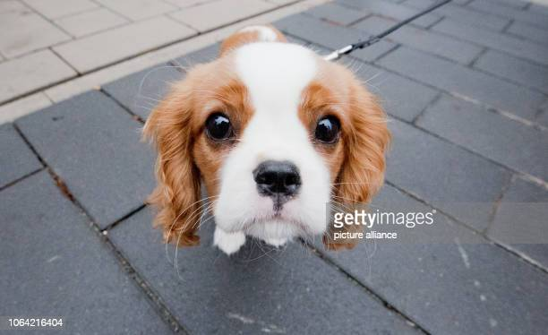 November 2018, Lower Saxony, Hannover: Jamie, 15 weeks old, a dog of the breed Cavalier King Charles Spaniel looks interested into the camera of the...