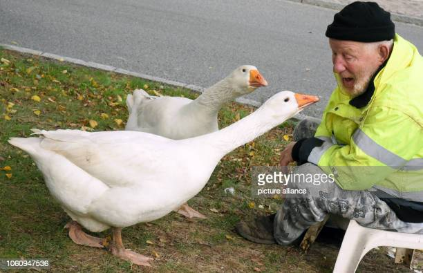 Henry Vogel speaks with his two geese Erich and Margot on the village square Henry Vogel spent the first 16 hours of life of the goosechicks with the...