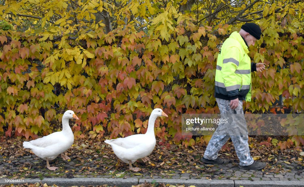 Henry Vogel and his geese Margot and Erich : News Photo