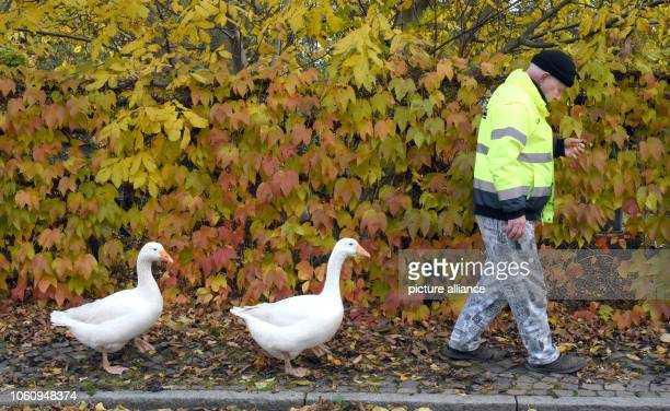Henry Vogel walks with his two geese Erich and Margot to the village square Henry Vogel spent the first 16 hours of life of the goosechicks with the...