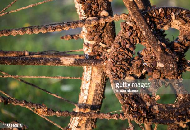 November 2019, Hessen, Frankfurt/Main: The chainring of a completely rusty bicycle that was recovered from the Main River is covered with shells....