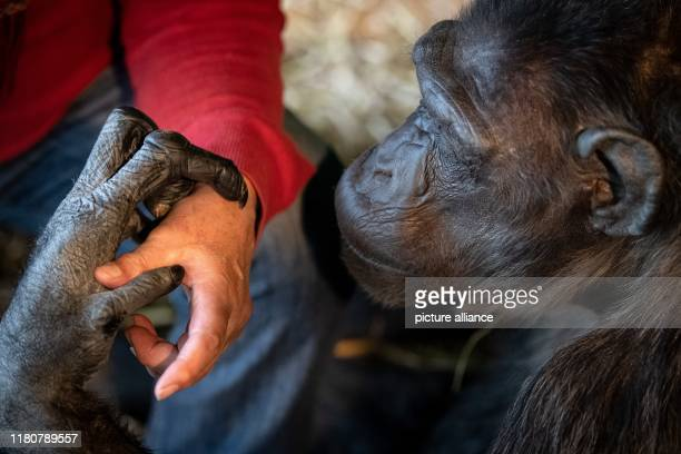Circus director Klaus Köhler and chimpanzee Robby sit in Robby's enclosure in the circus Belly The trial of the probably last circus monkey in...