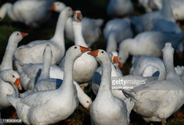 Geese run on a meadow of an openair poultry farm near Dresden Photo Robert Michael/dpaZentralbild/dpa