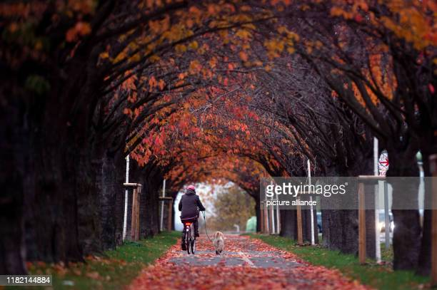 13 November 2019 SaxonyAnhalt Magdeburg A cyclist drives through an avenue of deciduous trees whose leaves have turned autumnal It remains cold but...