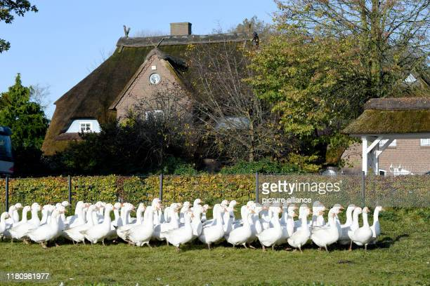 08 November 2019 SchleswigHolstein Eddelak Geese run over a meadow on the breeding farm Dithmarscher Gans The goose is one of the few seasonal dishes...