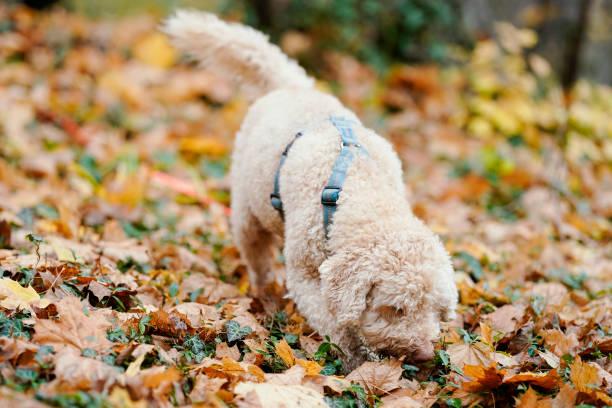 DEU: Truffle Dog Snoopy