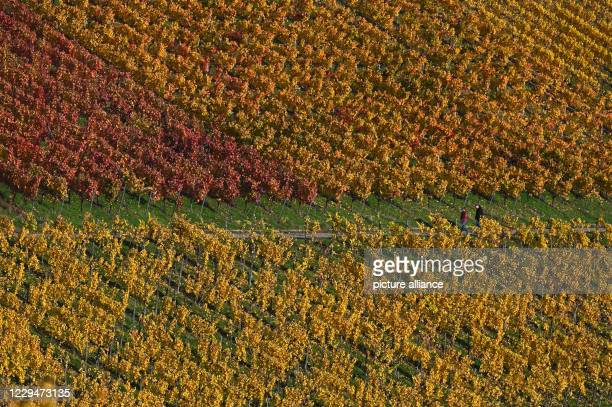 November 2020, Baden-Wuerttemberg, Stuttgart: The leaves of the vines are seen in the autumn colours yellow and red in a vineyard. Photo: Marijan...